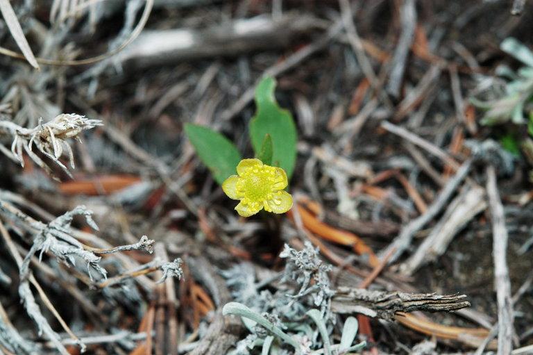 Ranunculus glaberrimus var. ellipticus