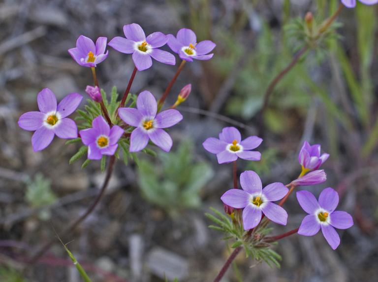 Leptosiphon latisectus