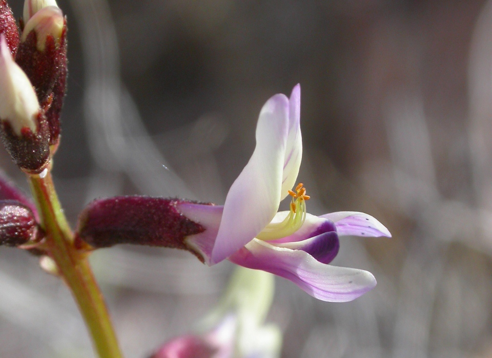 Astragalus preussii var. laxiflorus