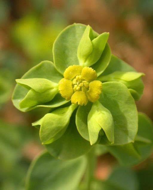 Euphorbia incisa
