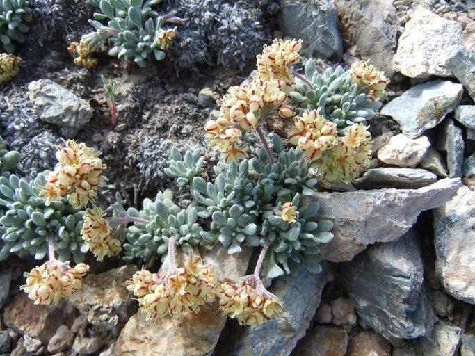 Eriogonum gilmanii
