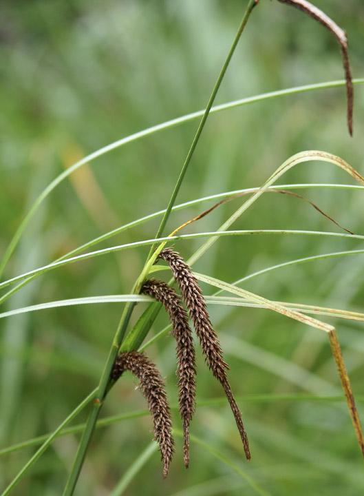 Carex obnupta