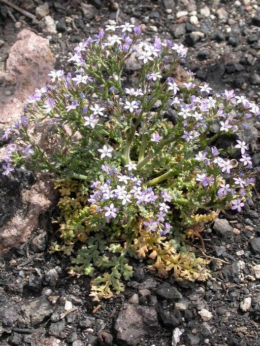 Gilia aliquanta ssp. breviloba