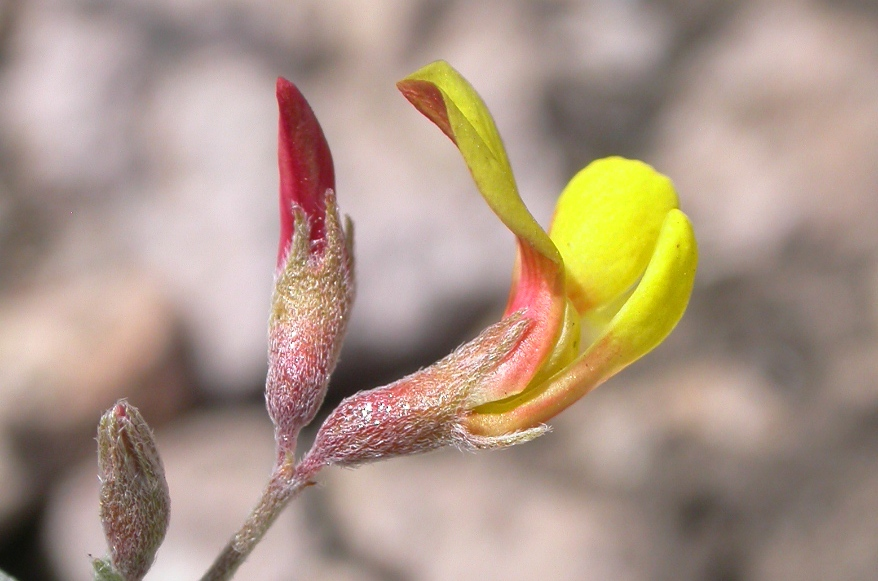 Acmispon argyraeus