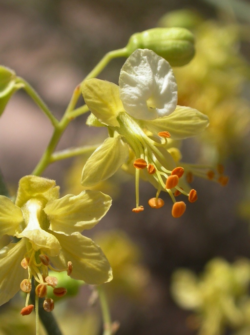Parkinsonia microphylla