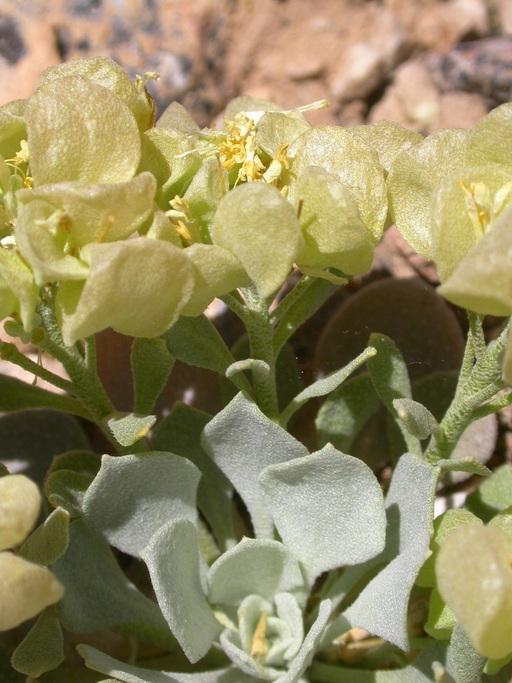 Physaria chambersii