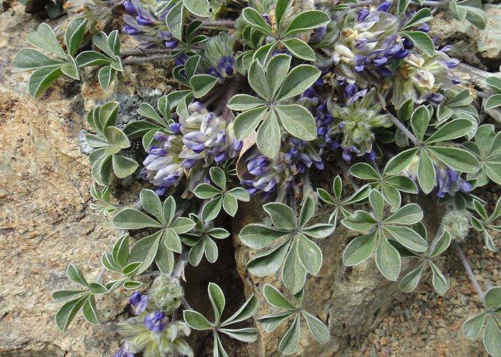 Pediomelum californicum