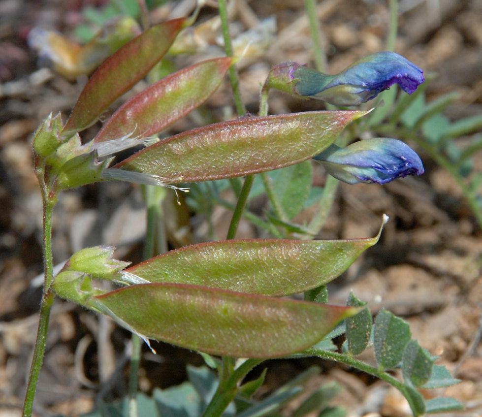 Vicia americana ssp. americana