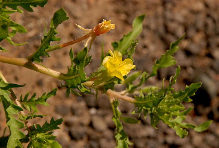 Oenothera laciniata