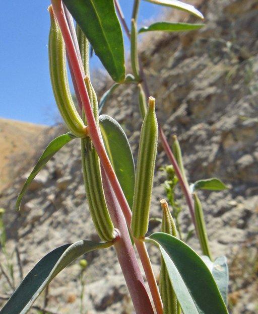 Clarkia tembloriensis