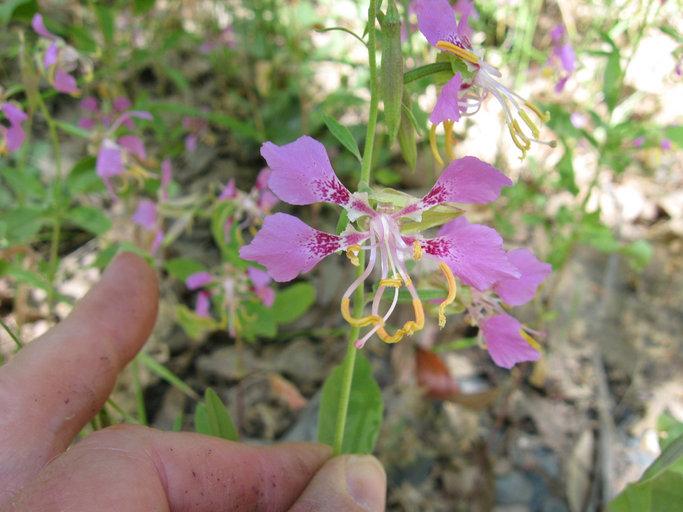 Clarkia mildrediae ssp. lutescens