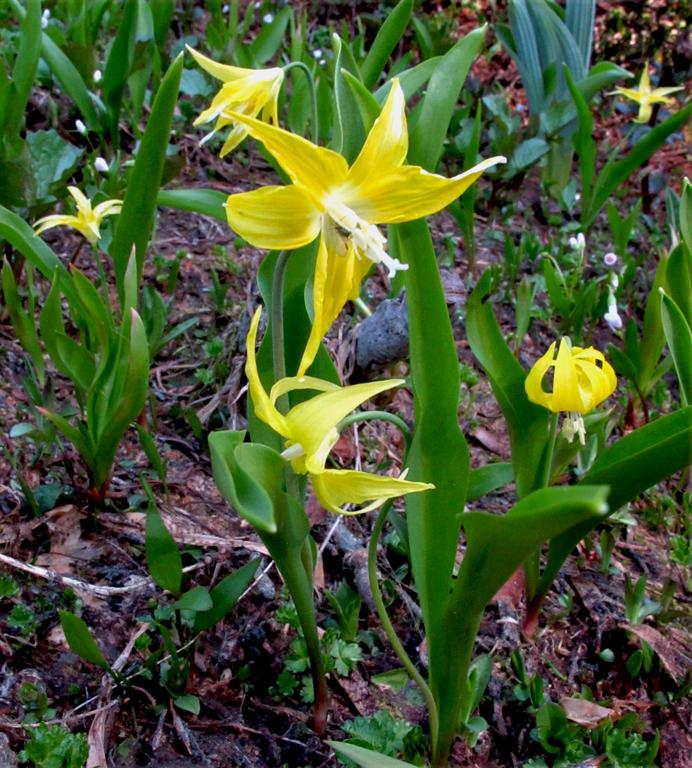 Erythronium grandiflorum ssp. grandiflorum