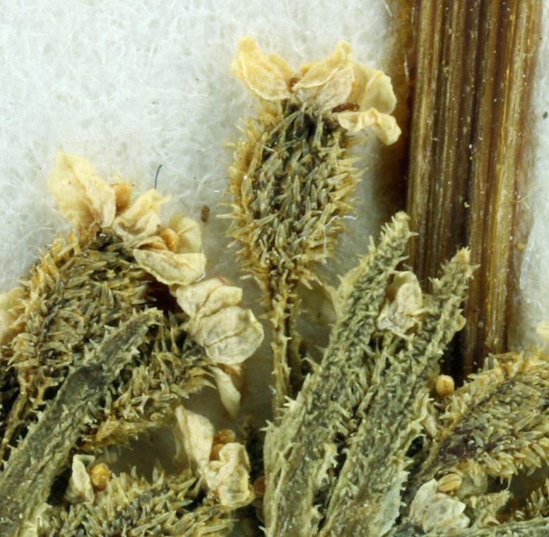 Ammoselinum giganteum