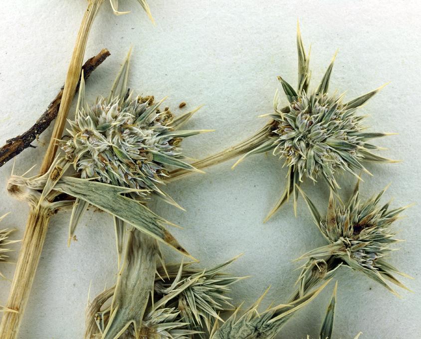 Eryngium alismifolium