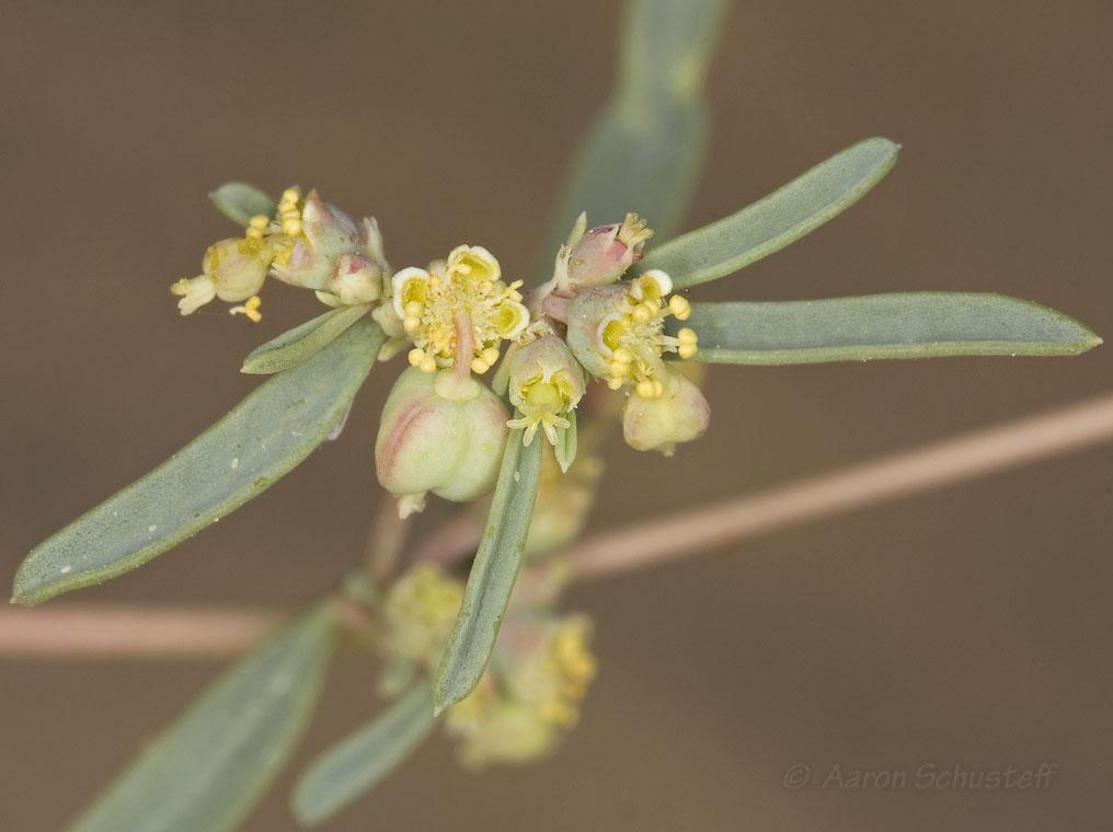 Euphorbia parryi