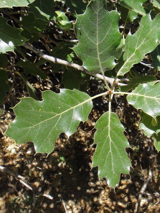 Quercus Xmorehus