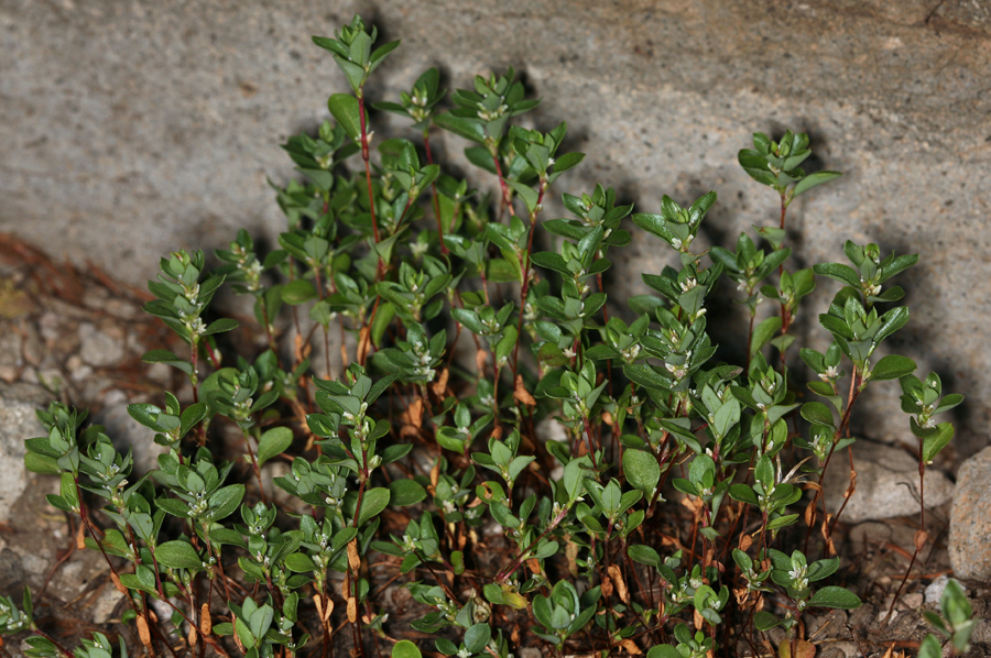 Polygonum minimum