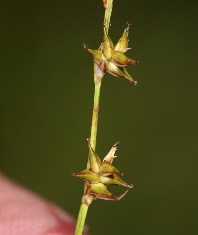 Carex echinata ssp. echinata