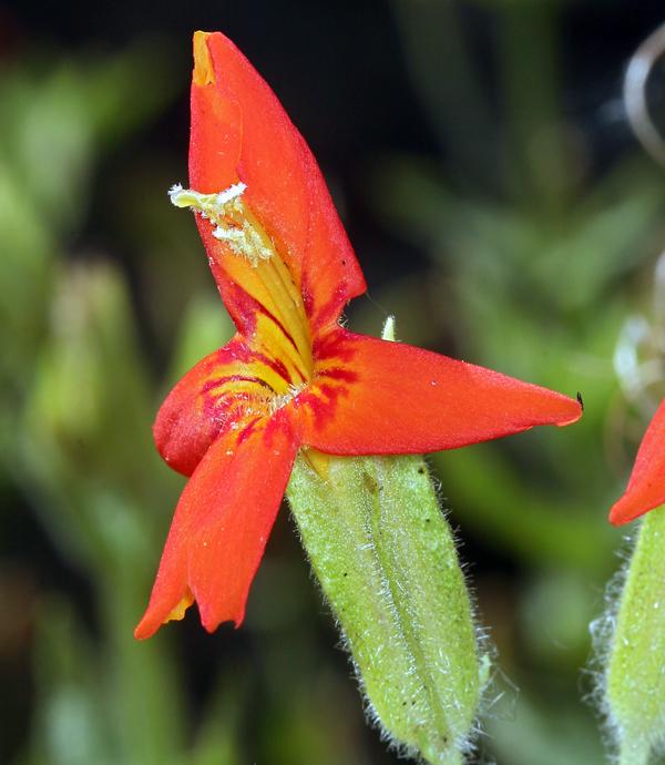 Erythranthe cardinalis