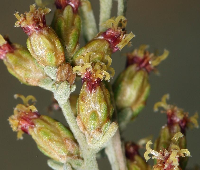 Artemisia nova
