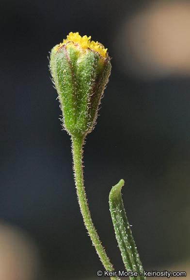 Schkuhria multiflora var. multiflora