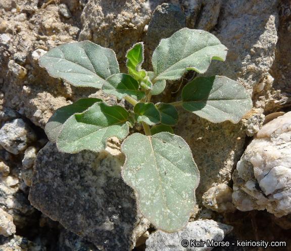 Boerhavia triquetra var. intermedia
