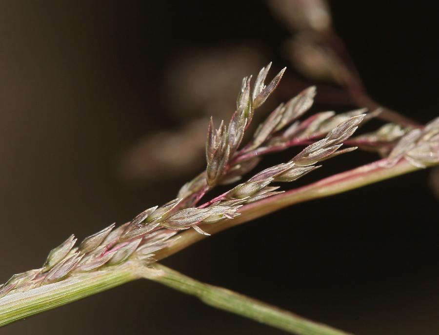 Sporobolus cryptandrus