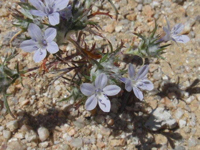 Eriastrum pluriflorum ssp. sherman-hoytiae