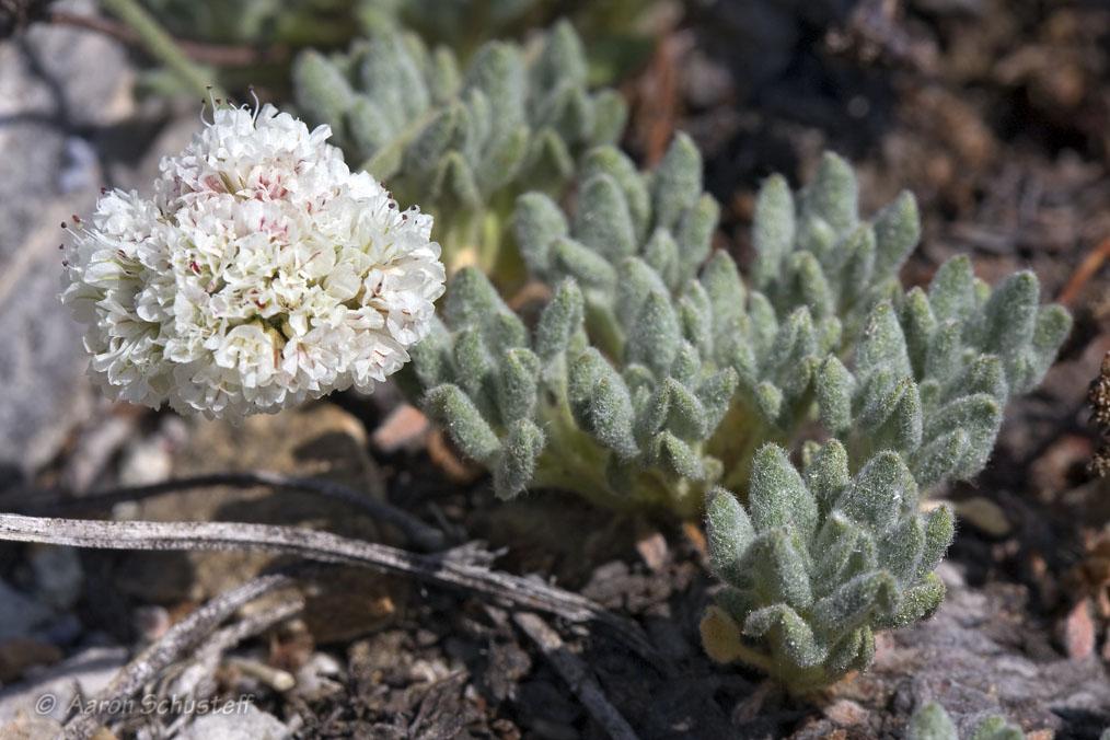 Eriogonum breedlovei var. breedlovei