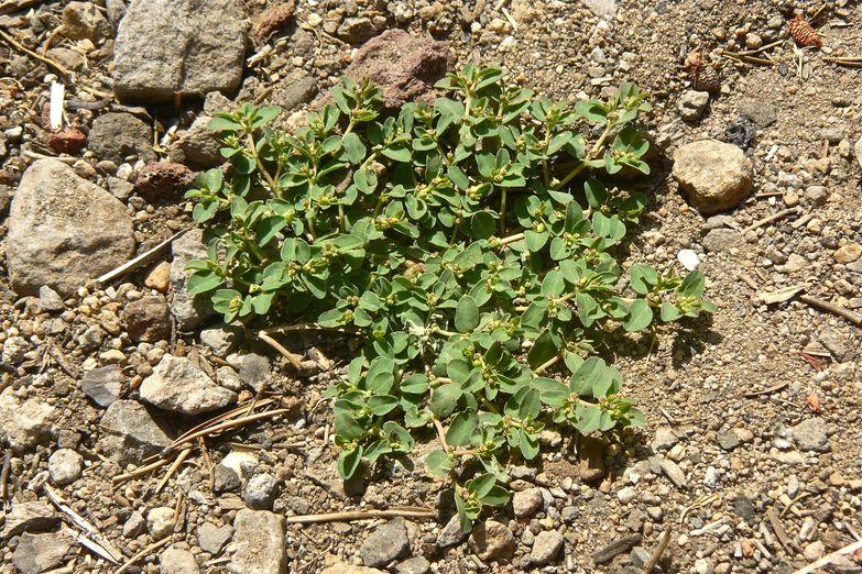 Euphorbia serpillifolia