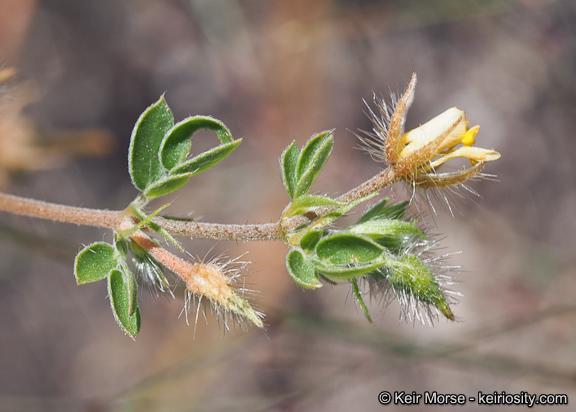 Kallstroemia parviflora