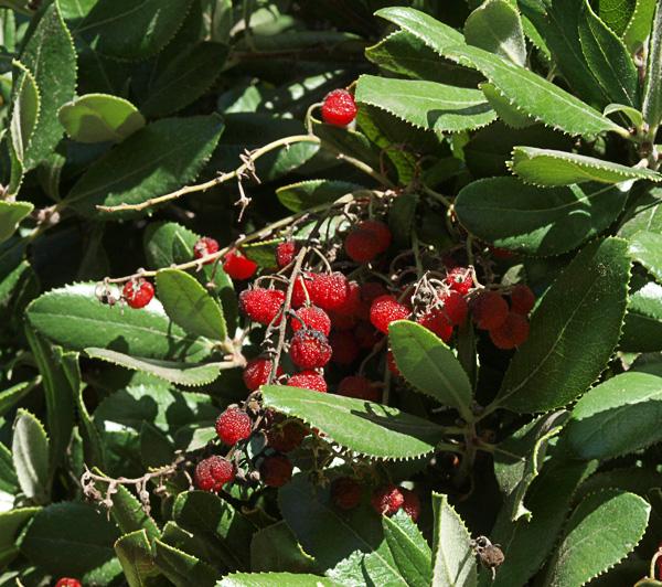 Comarostaphylis diversifolia ssp. planifolia