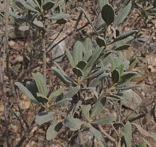 Eriodictyon crassifolium var. crassifolium
