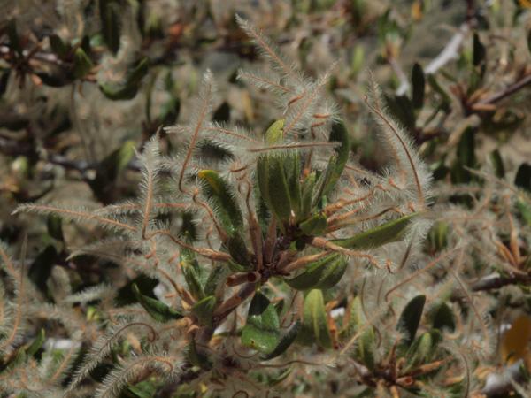 Cercocarpus ledifolius var. intermontanus