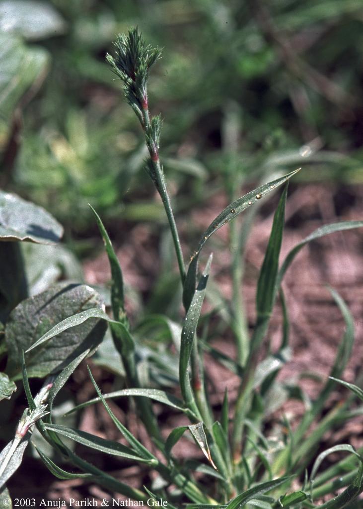 Orcuttia californica