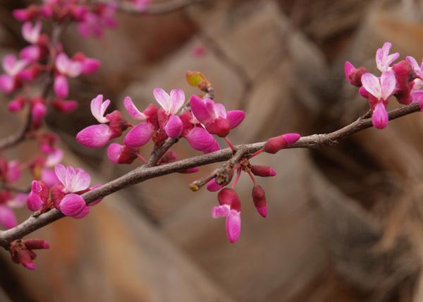 Cercis occidentalis
