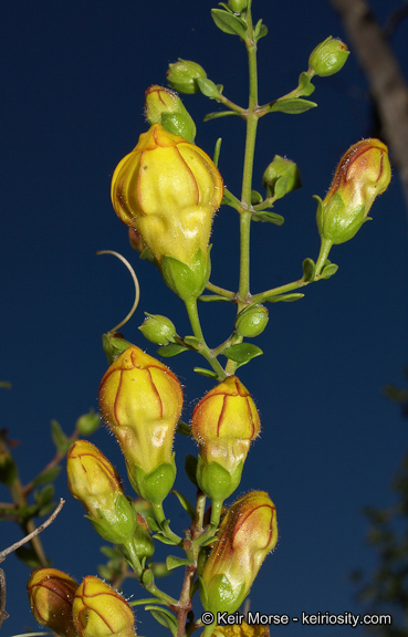 Keckiella antirrhinoides