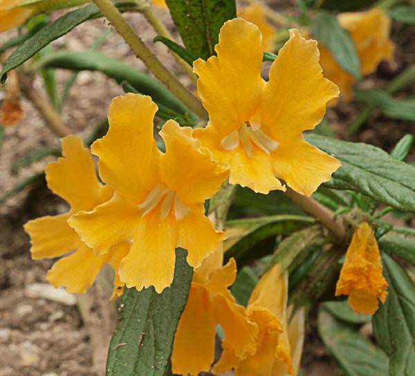Diplacus aurantiacus