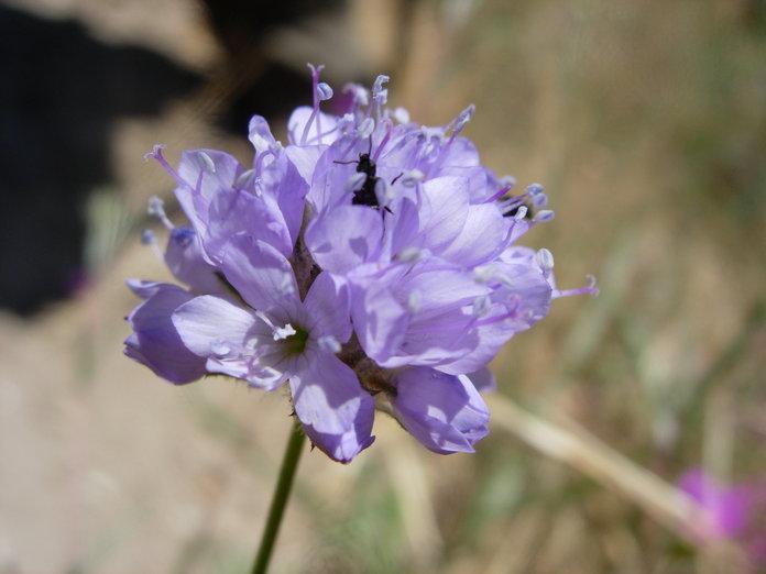 Gilia capitata ssp. staminea