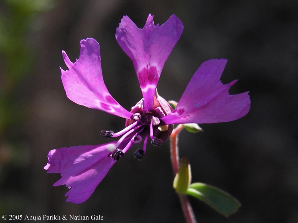Clarkia xantiana ssp. xantiana