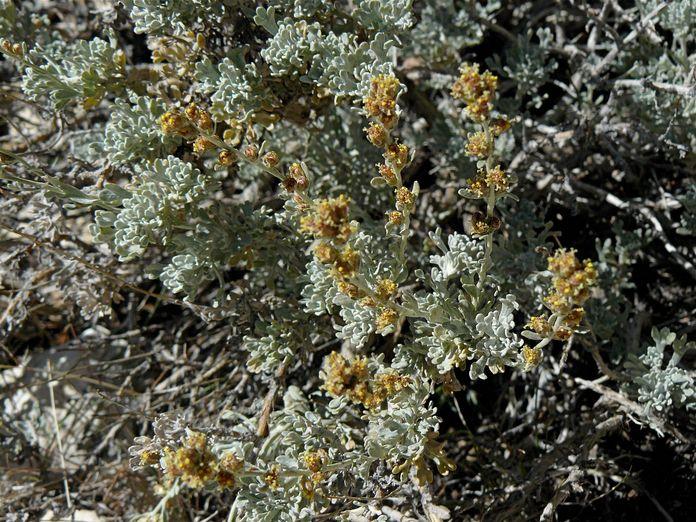 Artemisia arbuscula
