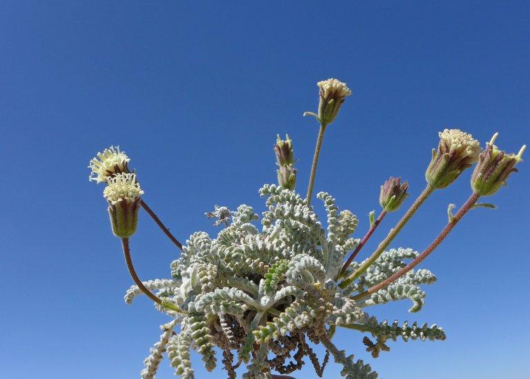 Chaenactis santolinoides