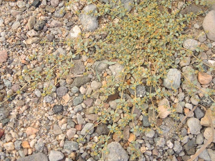 Euphorbia ocellata ssp. arenicola
