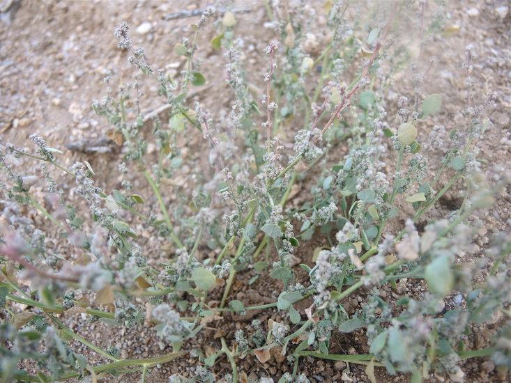 Chenopodium incanum var. occidentale