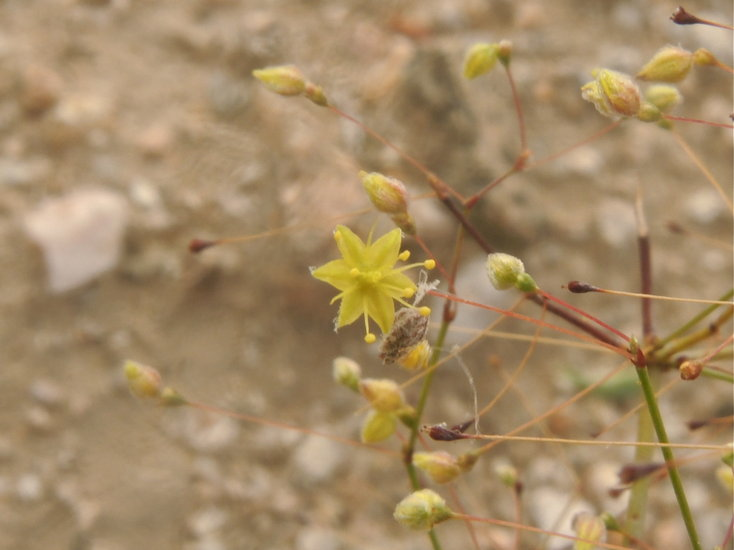 Eriogonum trichopes