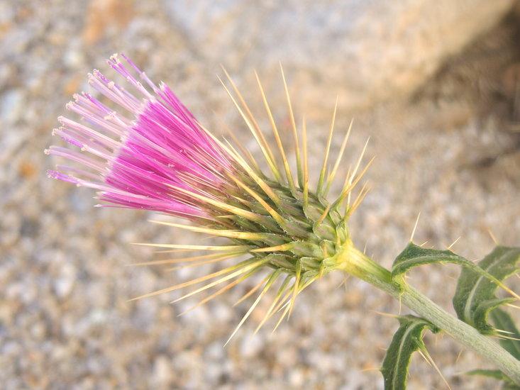 Cirsium arizonicum var. tenuisectum