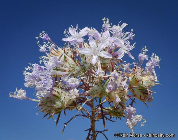 Eriastrum pluriflorum ssp. albifaux