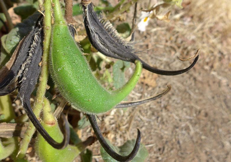 Proboscidea louisianica ssp. louisianica