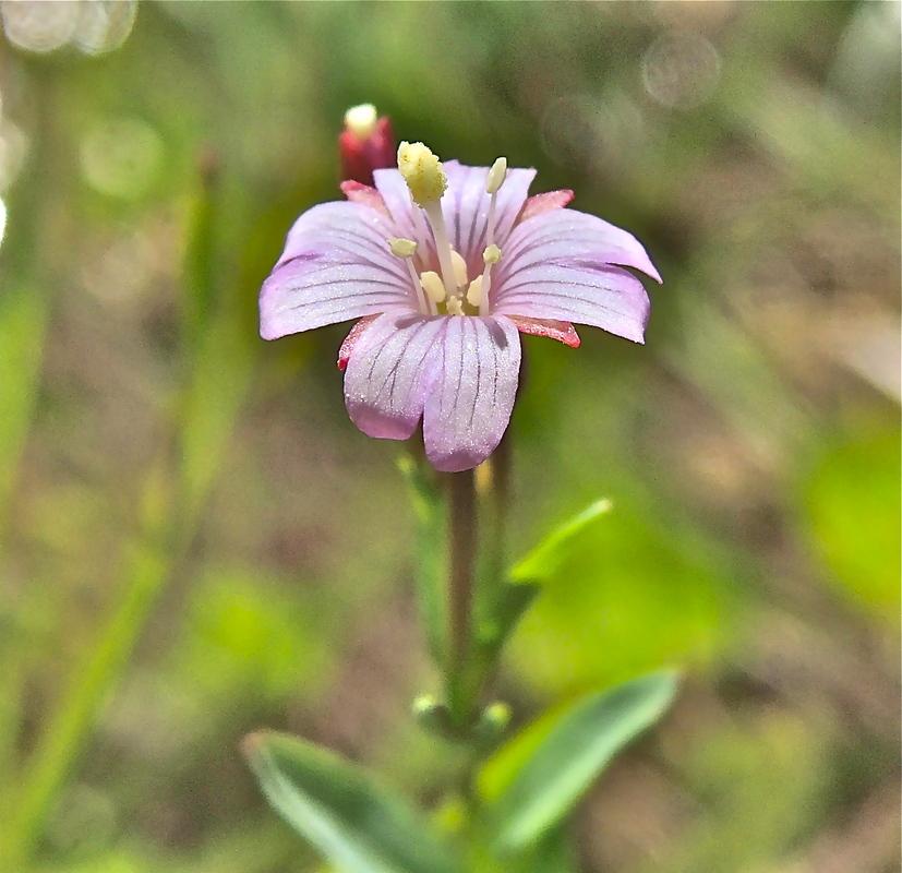 Epilobium glaberrimum ssp. fastigiatum