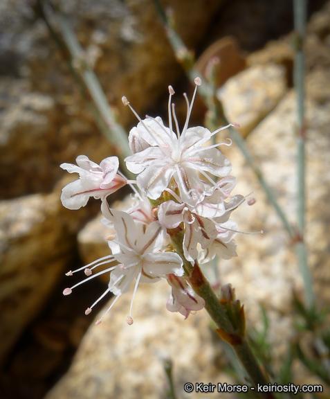 Eriogonum wrightii var. membranaceum